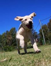 dog running on recall command
