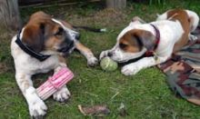 puppy playing