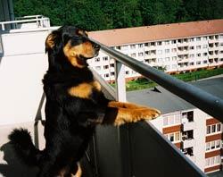 dog on the balcony