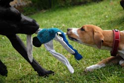 dog's playing tug