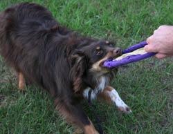 puppy tugging