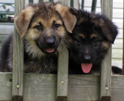 two puppies behind fence