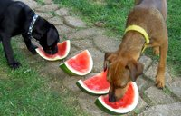 dogs eating watermelons