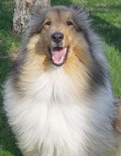 dog coat, collie